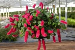Акалифа - вредное комнатное растение