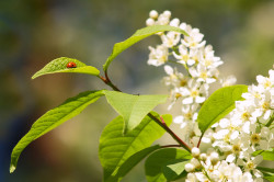 Цветение черемухи - причина аллергии
