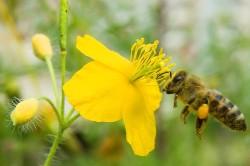 Польза чистотела при аллергии