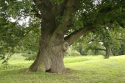 Обновление листвы дуба - причина аллергии в апреле
