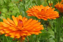 Настойка календулы при аллергии на пыльцу