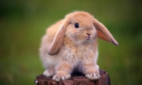 Шерсть кролика - причина аллергии