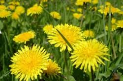 Пыльца одуванчика - причина аллергии