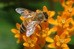 Пчелиный укус - причина отека Квинке