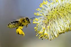 Пыльца растений - причина аллергии