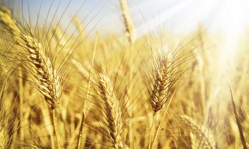 Проблема аллергии на пшеницу