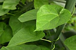 Растение гудучи - лучшее средство от аллергии в аюрведе