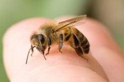 Укусы насекомых - причина анафилактического шока